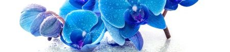 Blue Rain Orchid